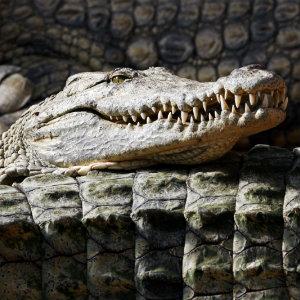 crocodiles-in-the-wild-dp