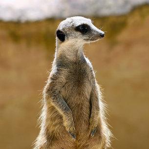 meerkats-at-australia-zoo-dp