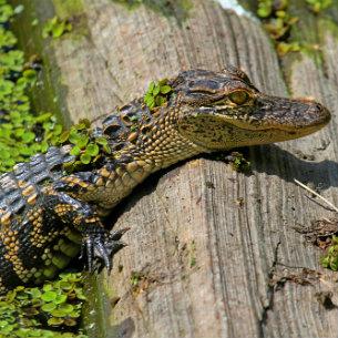 Crocodile at Australia Zoo, Sunshine Coast