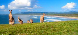 kangaroos in the the field